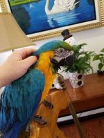 Male and Female Blue and gold Macaw parrot  whatsapp +237650429351