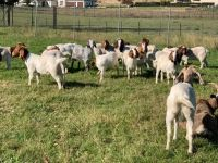 Full Blood Headed Pure Breed Dorpers And Boer Goats.!!