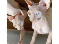 Sphynx Cats Available Now