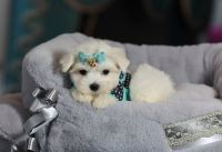 Stunning T-Cup Maltese puppies Available for sale