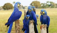 Blue Hyacinth Macaw Parrots For sale