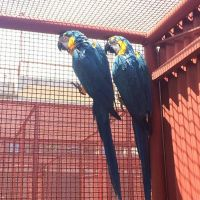 Blue & Gold Macaw Birds For Sale